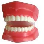 mô hình răng